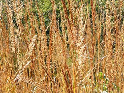 (250 INDIAN GRASS Sorghastrum Nutans)