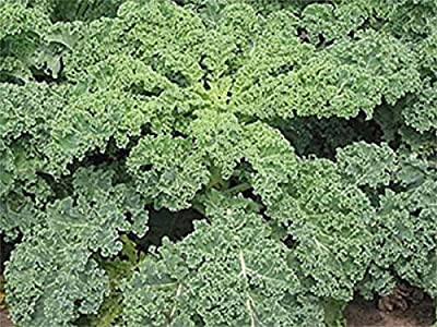 Blue Curled Scotch Kale Seeds - Heirloom