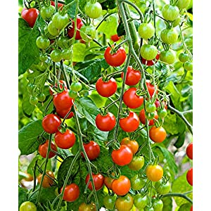 "Live Sweet 100 Tomatoes Plant Perennials Plant Fit 4"" Pot"