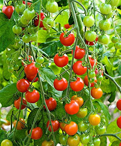 Live Sweet 100 Tomatoes Plant Perennials Plant Fit 4