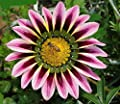 Mr.seeds Medal Medal Purple Stripes Daisy Species Chrysanthemum Potted Flowers Seed Gazania Sunflower Africa 100 Pieces / lot