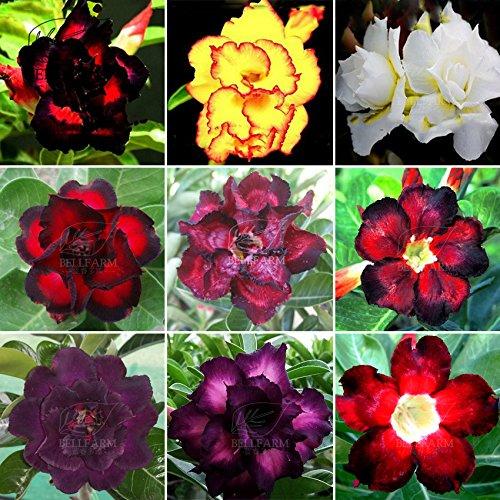 New!! 20PCS Adenium 'Seeds' Black Red Yellow White Colorful Purple Bonsai Desert Rose Flowers Perennial Home Garden Aroma (T1)