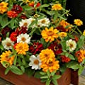 Outsidepride Zinnia Profusion Double Flower Seed Mix