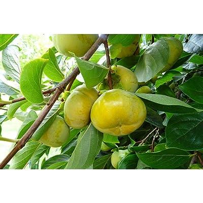 5 Diospyros Kaki Japanese Persimmon Seeds #SRP99 : Garden & Outdoor