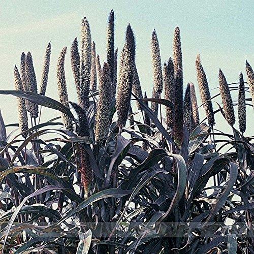 (Solution Seeds Farm Rare Pennisetum Glaucum 'Purple Majesty' F1 Hybrid Seeds, Professional Pack, 50 Seeds / Pack, Ornamental Millet, Pearl Millet)