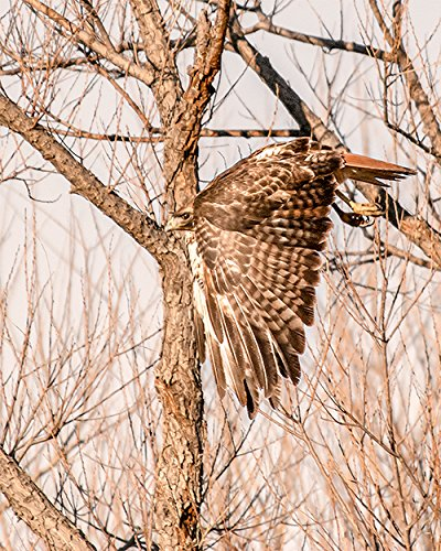 Harris Hawk, Bird Art, Bird in Flight, Bird Photograph, Hawk Print (Bird Harris Hawk)