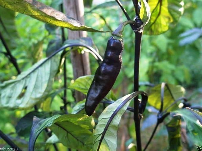 Amazon.com: 10 Pimenta da neyde semillas de pimienta ...