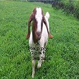 A Happy Goat