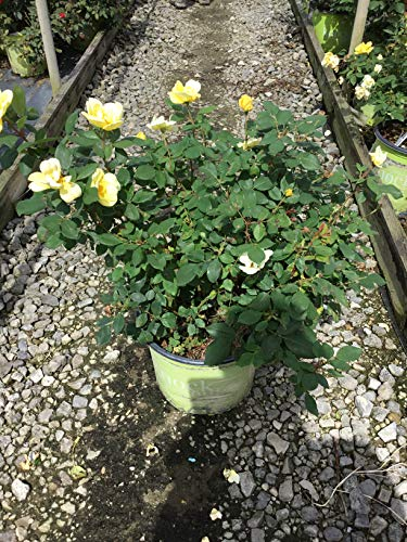 Knock Out Roses Sunny Knock Out Rose - Rose K.O. Sunny Knockout - 3 Gallon by Premier Plant Solutions (Image #4)