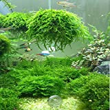 Dolland Marimo Moss Balls Aquarium Live Plant for Fish Tank Live Plant Filter Filtration Funny Decor (Color: White)