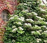 Climbing Hydrangea Vine ( petiolaris ) - Live Plant - Quart Pot