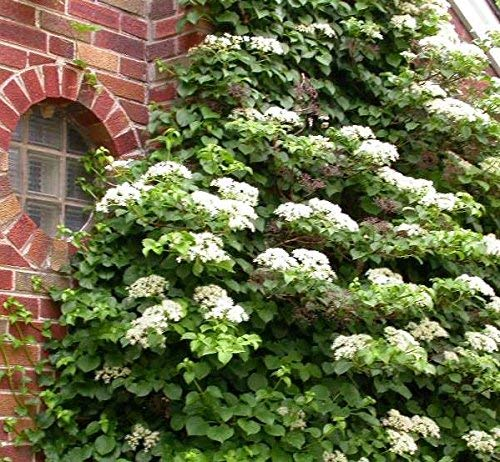 Climbing Hydrangea Vine - Live Plant - Trade Gallon Pot by New Life Nursery & Garden