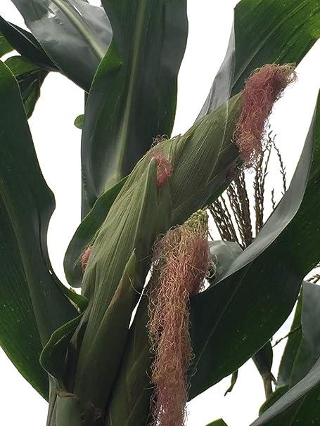 Carpleads Plasticorn Mais Maize Yellow gelb 10 St/ück