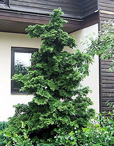 1 Starter Plant of Slender Hinoki Cypress in Gallon Pot
