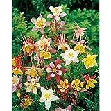 50+COLUMBINE MCKANA GIANTS SEEDS American Native Wildflower Aquilegia caerulea
