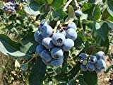 1 Bare Root of Tifblue Blueberry Plant (4-5' Heavy Fruiting Age Plants)