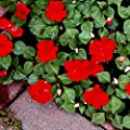 Red Impatiens seeds - Impatiens walleriana