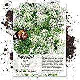 Seed Needs, Caraway Herb (Carum carvi) 600 Seeds Non-GMO