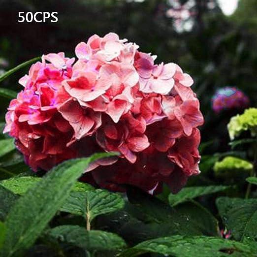 SummerRio 50 unids/bolsa semillas de hortensias jardín de casa flores de verano Semillas: Amazon.es: Jardín