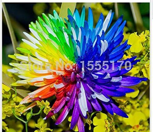 100 PC/bolso, semillas de flor del crisantemo del arco iris, raro color, nueva llegada DIY planta de la flor del jardín: Amazon.es: Jardín