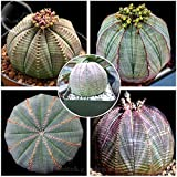 ADB Inc 2016 New Euphorbia obesa Basketball Sea Urchin Seeds