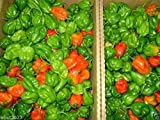 DOMINICA Red Habanero,Pepper - (30 SEEDS) Easy to grow,mature Early !