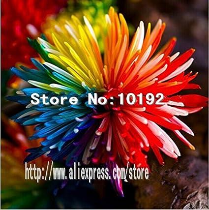 Ornamental Bonsai Rare Color New Chrysanthemum Seeds Garden Rainbow Flower 100pc