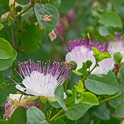 20 Seeds Capparis Spinosa Caper Bush Shrub Garden tkgre : Garden & Outdoor