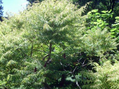 40 'Tiger Eyes' Staghorn Sumac Tree Seeds - Rhus -