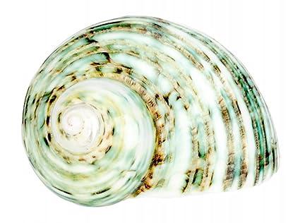 NADECO® Turbo argyrostomus Caracol, pulido, aprox. 5 cm | verde | Mares