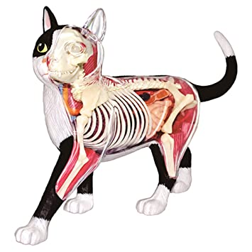 Amazon.com: 4D Vision Animal Anatomy - Cat Skeleton & Anatomy Model ...
