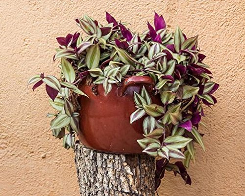 Vamsha Nature Care Live Indoor Love Plant Wandering Jew Plant...