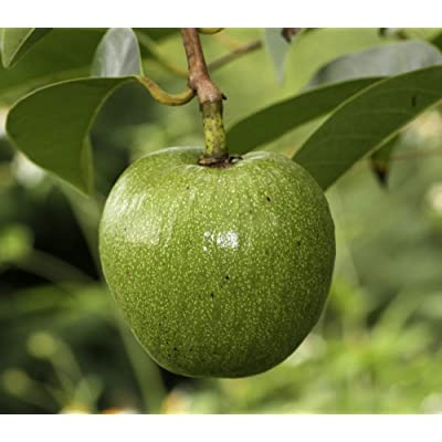 Pond Apple 5 Rare Seeds -Yellow Fragrant Flowers -Tropical Or Standard Gardening -Honeydew Melon Taste -Annona Glabra : Garden & Outdoor