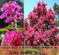CRAPE MYRTLE Tree Seeds - BLOOMS LAST 120 DAYS - Lagerstroemia indica - Perfect As Shrub Or Small Tree - Zones 6 - 9 - Tree Seeds from Flora Power by Red Pine, Inc.