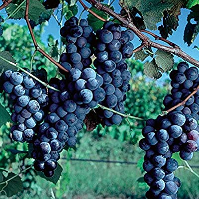 (1 Gallon) Cabernet Sauvignon Grape, is a Small, Round, Black Grape for Wine-Making, it is one of The Most Renowned red Wine Grapes. : Garden & Outdoor