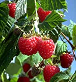 2 Heritage - Red Raspberry Plant - Everbearing - Organic Grown - Ready for Spring Planting