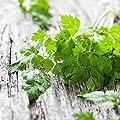 Chervil Seeds - Ounce, Herb Seeds