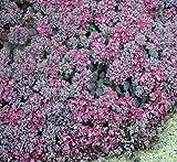 Lidakense Sedum - Hardy Perennial Groundcover - Quart Pot