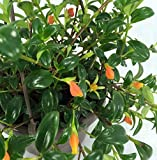"Goldfish Plant - Live Plant - 6"" Hanging Basket - Blooms Frequently!"