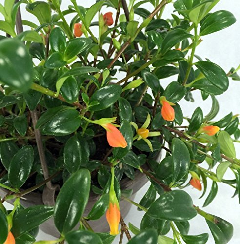 Ohio Grown Goldfish Plant - 6'' Hanging Basket - Blooms Frequently! by Hirt's Gardens