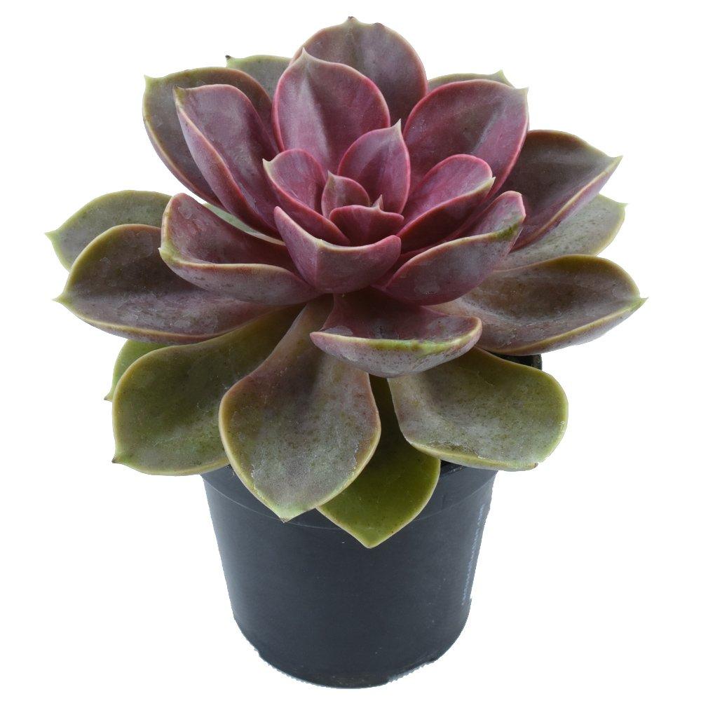 Altman Plants Assorted Live Tray large succulents bulk for planters, 3.5'', 18 Pack by Altman Plants (Image #9)