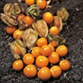 CAPE GOOSEBERRY Physalis Peruviana 25-Annual Seeds by Helens Garden