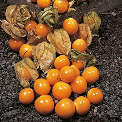 CAPE GOOSEBERRY Physalis Peruviana 25-Annual Seeds by Helens Garden: Toys & Games