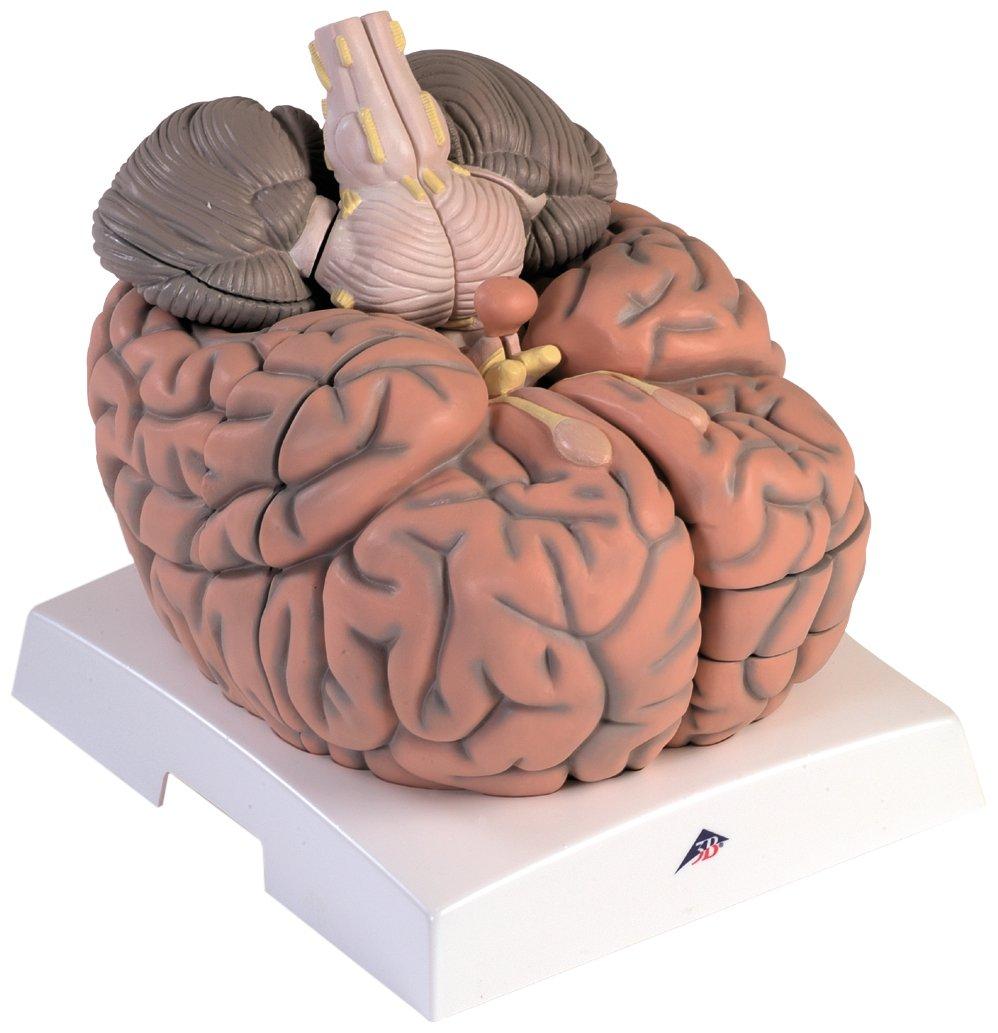 3B Scientific Human Anatomy - Brain Ventricle Model: Amazon.co.uk ...
