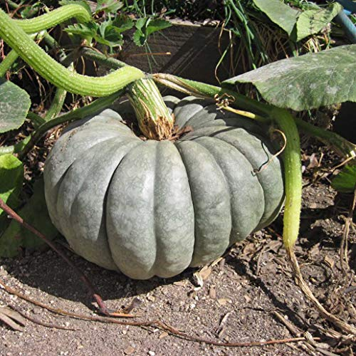 Pumpkin Blue Seeds Giant Rare Queensland Vegetable for Planting Giant Non GMO 5 -