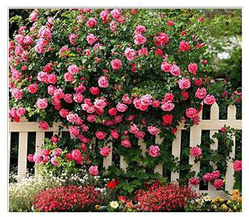 The Best Seller 200 seeds Rosa,Climbing Plants , Polyantha rose, Chinese Flower Seeds ,Climbing Roses (Basil Hydrangea Planter)