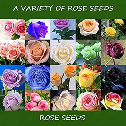 Rose Seed Four Seasons Easy Living Fresh Flower Miao Balcony Indoor Potted  Flower Seed Wholesale Red