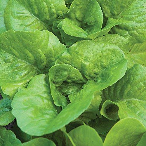 Lettuce Burpee Seed (Burpee Burpee Bibb Lettuce Seeds 2500 seeds)