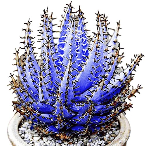 - Blisscomdep 100 Pcs Rare New Colorful Aloe Vera Seeds Succulent Herbal Bonsai/Balcony/Garden Plants Decor - Sky Blue/Organge/Purple/Rose Red/Yelllow