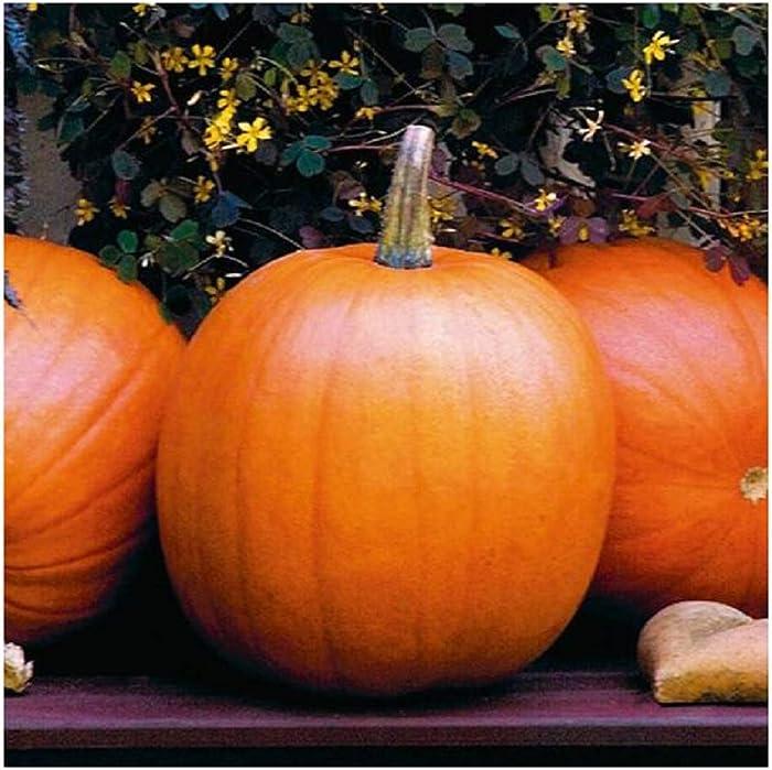 David's Garden Seeds Pumpkin Jack O'Lantern SL9831 (Orange) 50 Non-GMO, Heirloom Seeds